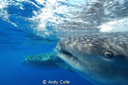 Whale sharks, Isla Mujeres, Mexico. Taken with Nikon D60 ... by Andy Colls
